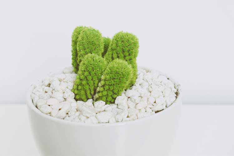 cactus in a white pot