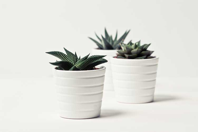 three plants in white pots
